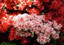 Rosa, Rot und Licht von lorenzo-fp