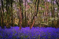 Bluebell-wood