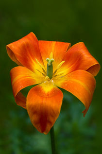 Tulpe by fotolos