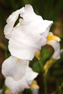 A White Iris von olgasart