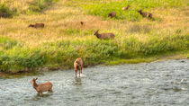 The Elk Crossing by John Bailey