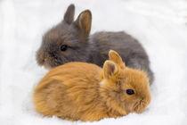 Klein und flauschig Hasen Babys Löwenkopfkaninchen by Dennis Stracke