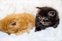 Maine Coon Katzen Babys by Dennis Stracke