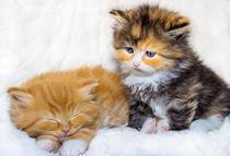 Zwei kleine Sofakissen Maine Coon Katzen by Dennis Stracke