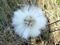 Wuschelig weiße Blüte von Joachim P. Pudrel