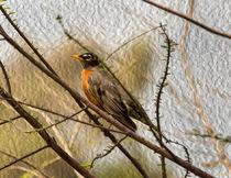 American Robin on a Branch by John Bailey