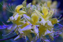 Yellow and blue by uta-behnfeld