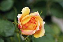 Rose von Luisa Azzolini