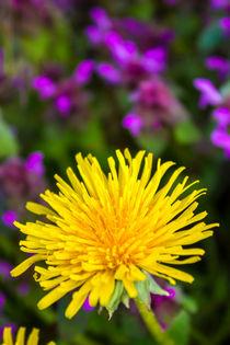 Löwenzahn Blüte im Frühling by Dennis Stracke