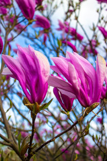 Magnolia liliiflora, Lilienblütige Magnolie by Dennis Stracke