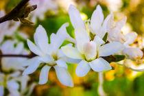 Sternmagnolie (Magnolia stellata) Blüten by Dennis Stracke