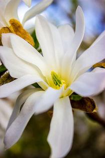 Sternmagnolie (Magnolia stellata)  Blüten Bild von Dennis Stracke