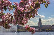 Kirschblüten an der Alster von Dennis Stracke