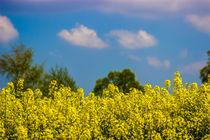 Rapsfeld in voller Blüte von Dennis Stracke