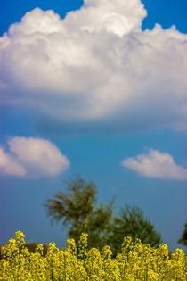 Raps in blauen Himmel by Dennis Stracke