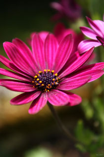 pink cape daisy by meleah