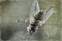 Fliege   -   nicht von oben ! von leddermann