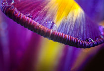 Iris-Ufo by Vera Kämpfe