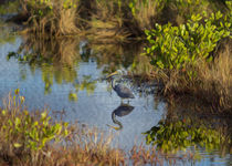 A Tricolored Heron in the Wetlands by John Bailey