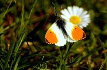 Aurorafalter Gänseblümchen Tautropfen - orange tip butterfly daisy dewdrop von mateart