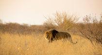 Kalahari King No 2 by Andy-Kim Möller