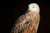 Red Kite Portrait by Andy-Kim Möller