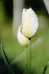 weiße Tulpe von rgb cmyk