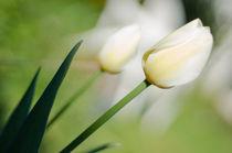 fragile straight tulip by rgb cmyk