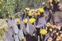 Violet Prickly Pear by Kume Bryant