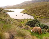 ein Lama am See von reisemonster