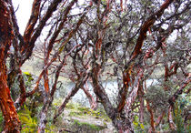 Rotbaum von reisemonster