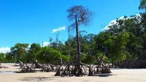 Mangrove am Amazonas von reisemonster