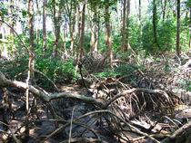 Mangrovenwald von reisemonster