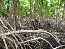 Mangroven am Amazonas von reisemonster