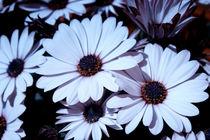 Petals von Laura Benavides Lara