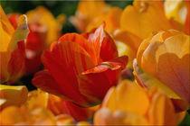 Tulpenglück von lisa-glueck