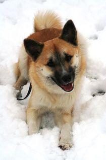 IcelandicSheepdog20160301 von Angelika Möthrath
