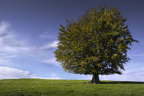 L'arbre solitaire // The solitary tree  // Der einsame Baum by Olivier Mavilia