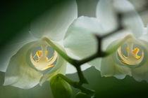 Orchidee eins von Rudolf Strasser