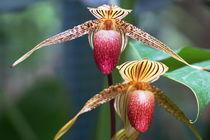 Orchidee zwei by Rudolf Strasser