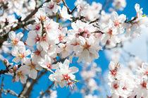 Almond blossom by Christina Rahm