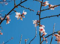 Almond blossom on twigs von Christina Rahm