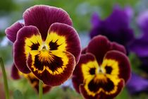 pansies by mark severn