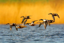 Löffelenten fliegen vor goldenem Schilf by Alexander Krebs