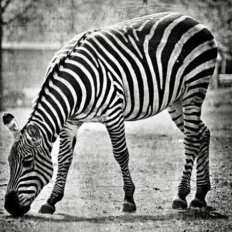 Zebra-005-cut-6000sw-c
