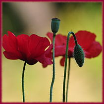 Mohn-Impression by Irmtraut Prien