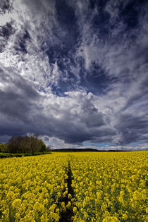 Rapeseed Field von David Pringle