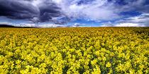 Rapeseed Field von David Pringle