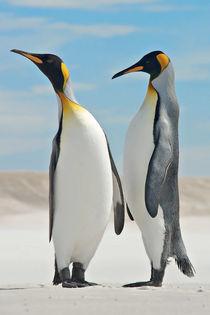 King Penguin pair by Matthias Zepper