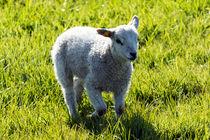 Lamb in meadow von Eirik Sørstrømmen